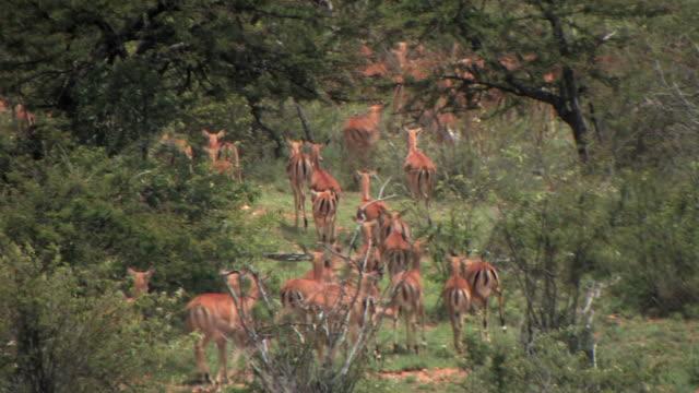 MS, Herd of Impala (Aepyceros melampus) running, Laikipia, Kenya