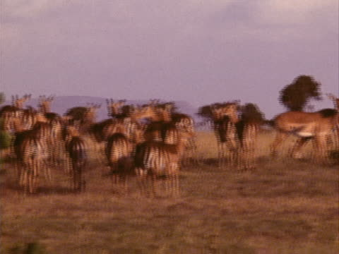herd of impala - pflanzenfressend stock-videos und b-roll-filmmaterial