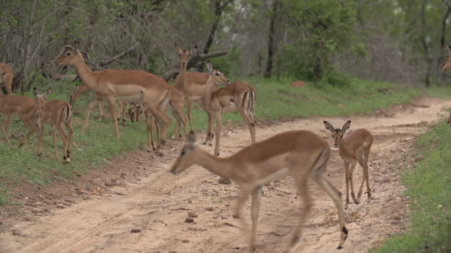 a herd of impala with their young lambs cross a road  with short green grass around them in kruger national park, south africa - provinz mpumalanga stock-videos und b-roll-filmmaterial