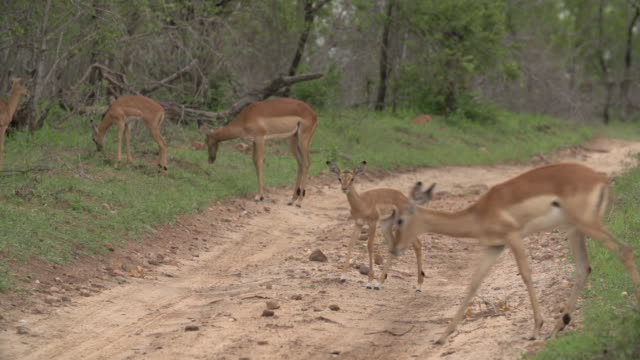 a herd of impala with their young lambs cross a road  with short green grass around them in kruger national park, south africa - mpumalanga province stock videos and b-roll footage