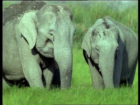 ms herd of indian elephants grazing in lush grass, india - tierische nase stock-videos und b-roll-filmmaterial