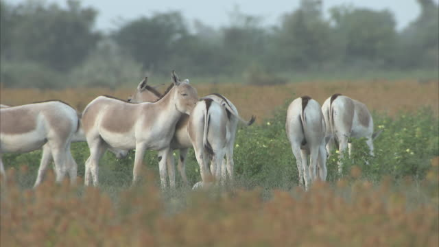 a herd of indian wild ass grazing and grooming in the desert bush - grazing stock videos & royalty-free footage