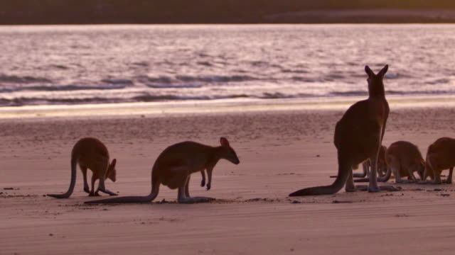 herd of kangaroos on the beach - victoria australia stock videos & royalty-free footage