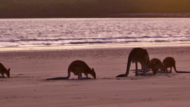 Herd of Kangaroos on the beach
