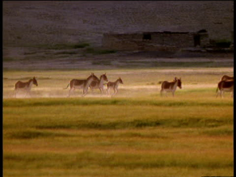 herd of kiang (asiatic wild ass) run on plains and two males chase each other, ladakh - other stock videos & royalty-free footage