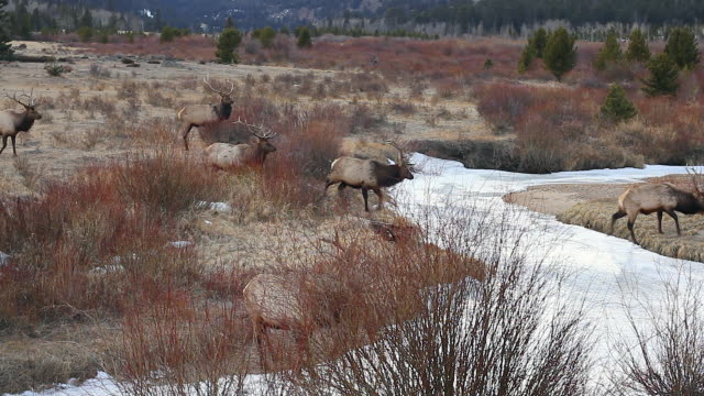 ws herd of large bull elk (cervus canadensis) crossing a frozen stream at dusk - 40 o più secondi video stock e b–roll