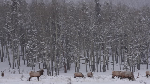 ws pan herd of large bull elk (cervus canadensis) grazing in a beautiful snow covered meadow - 30 seconds or greater stock videos & royalty-free footage