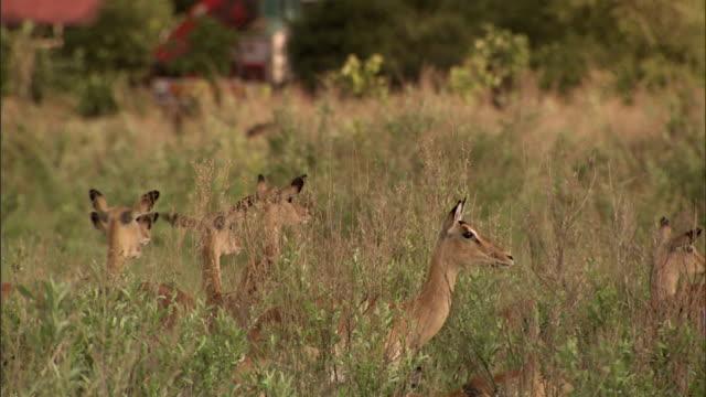 vídeos y material grabado en eventos de stock de herd of lechwe antelopes standing alert, watching, on grass field of the okavango delta. safari, okavango swamp, defense, survival, hunter, prey,... - delta de okavango