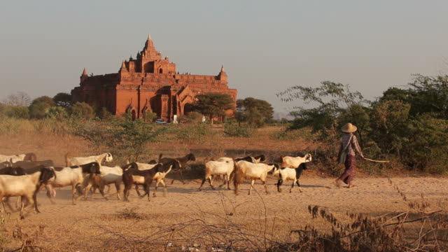 WS Herd of livestock going past ancient temple / Bagan, Myanmar