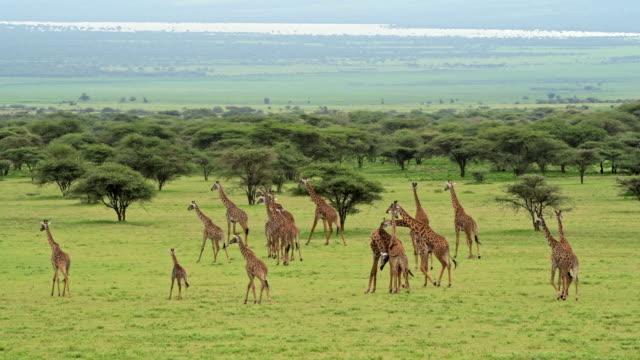 """vidéos et rushes de herd of massai giraffes """"giraffa camelopardalis tippelskirchi"""" - large group of animals"""