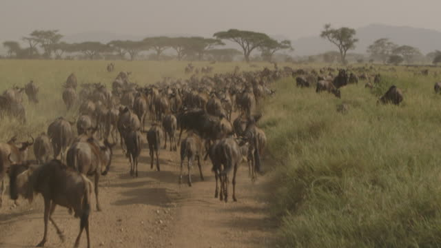 A herd of migrating wildebeest uses a man-made road as a footpath as it is followed by a safari vehicle, Tanzania.