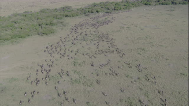 A herd of migrating wildebeests forms a long column as it runs across the savanna. Available in HD.
