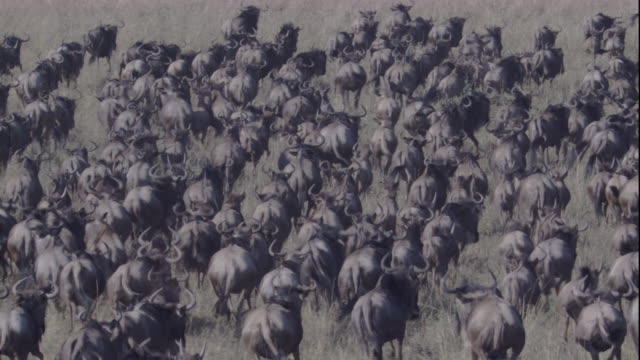 A herd of migrating wildebeests swarms together as it runs through the grasses of a savanna. Available in HD.