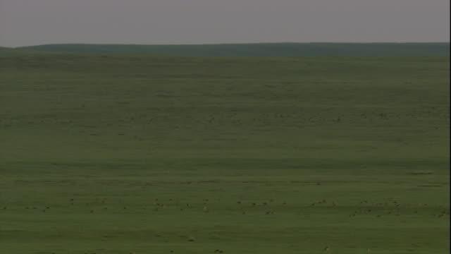 stockvideo's en b-roll-footage met a herd of mongolian gazelles crosses the vast mongolian manchurian steppe. available in hd. - steppe