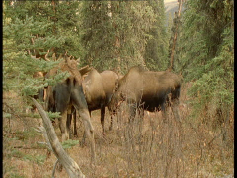 Herd of Moose in forest clearing, Alaska