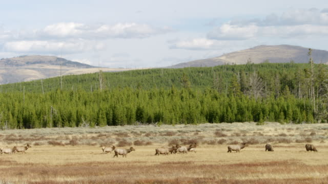 WS PAN Herd of moose walking on grassy landscape / Yellowstone National Park, Wyoming, United States