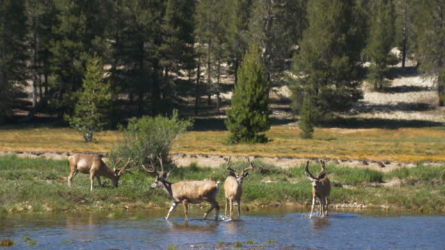herd of mule deer grazing in tuolumne meadows, yosemite national park - yosemite national park stock-videos und b-roll-filmmaterial