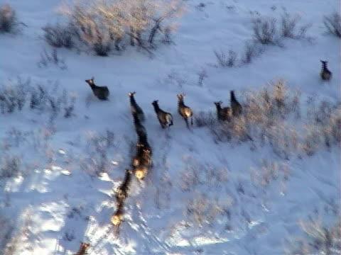 low aerial, herd of mule deer (odocoileus hemionus) running on snowy field, park city, utah, usa - 逃げる点の映像素材/bロール