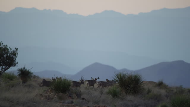 herd of mule deer walking in mountains at dusk - 数匹の動物点の映像素材/bロール