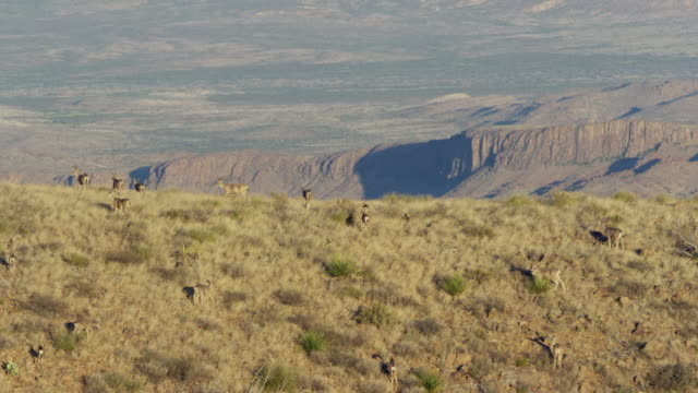herd of mule deer walking in mountains - mule stock videos & royalty-free footage
