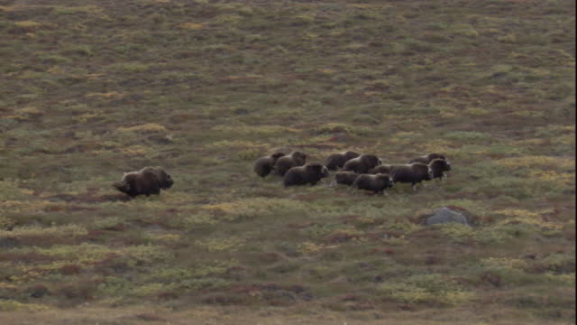 vidéos et rushes de a herd of musk oxen gallops across greenland's tundra. - troupeau