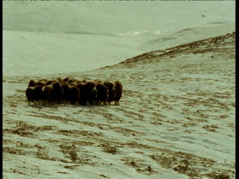 herd of musk oxen huddle on icy tundra, alaska - 牛車点の映像素材/bロール