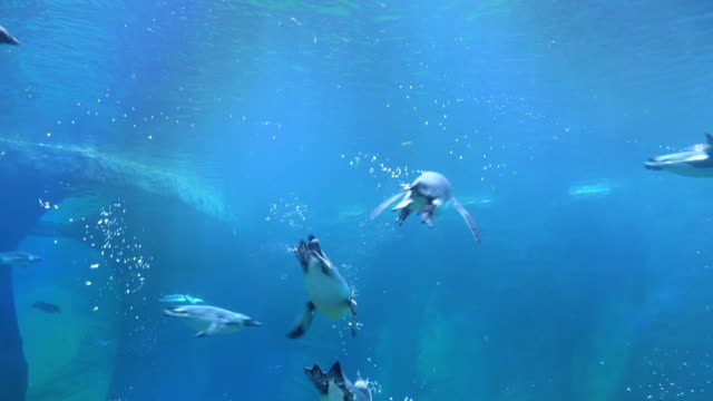 herd of penguin swimming from left hand to right hand side - penguin stock videos & royalty-free footage