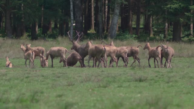 herd of peredavid'sdeer (davidshirsch) running on a meadow in front of a forest / slow motion - wapiti stock videos & royalty-free footage