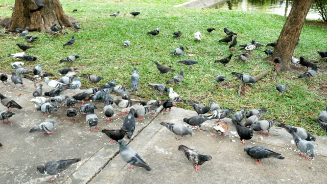 herd of pigeons eating bread in the park - animal behaviour stock videos & royalty-free footage