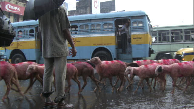 Herd of pink sheep walk across crossing, Kolkata Available in HD.