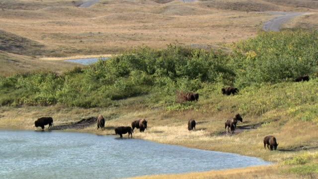 ws ha herd of plains bison (bison bison bison) at lakeshore, waterton lakes national park, alberta, canada - american bison stock videos & royalty-free footage