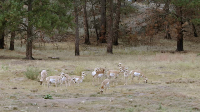 ws herd of pronghorn grazing on grassy landscape, prairie dogs keeping watch at burrow entrance / wind cave national park, south dakota, united states - pronghorn stock videos & royalty-free footage