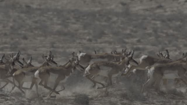 herd of pronghorn running - antelope stock videos & royalty-free footage