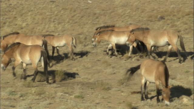 herd of przewalski's horse walk across steppe, kalamaili nature reserve, xinjiang, china - przewalskihäst bildbanksvideor och videomaterial från bakom kulisserna