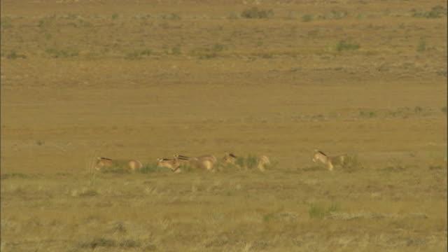 herd of przewalski's horses walk over steppe, kalamaili nature reserve, xinjiang, china - przewalskihäst bildbanksvideor och videomaterial från bakom kulisserna