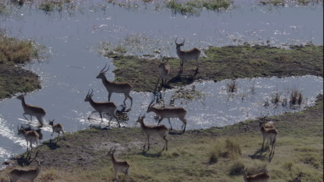 A herd of red lechwe bound across a river. Available in HD.