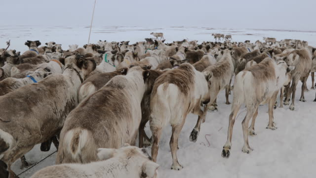 herd of reindeer at the snow field in yamal peninsula / siberia, russia - arbeitstier stock-videos und b-roll-filmmaterial
