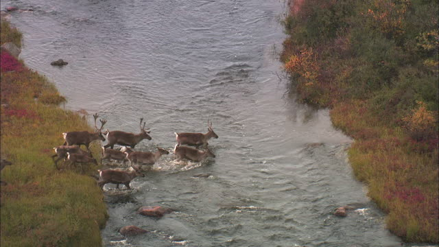 herd of reindeer crossing stream - 枝角点の映像素材/bロール