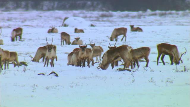 herd of reindeer eating moss on snowfield - moss stock videos & royalty-free footage