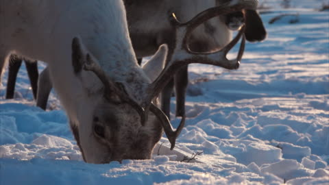 a herd of reindeer forage in snow for lichen, kamchatka, russia. - 葉状体点の映像素材/bロール
