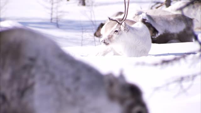 a herd of reindeer forages in deep snow. available in hd - vaja bildbanksvideor och videomaterial från bakom kulisserna
