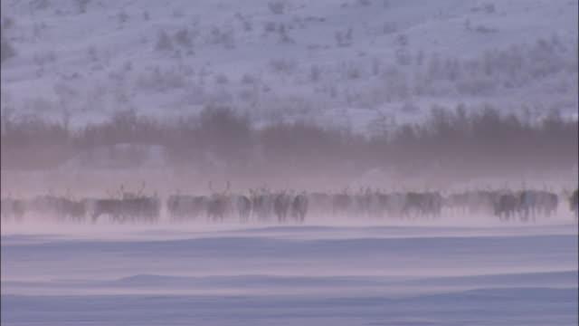 herd of reindeer in snowfield abisko - herde stock-videos und b-roll-filmmaterial