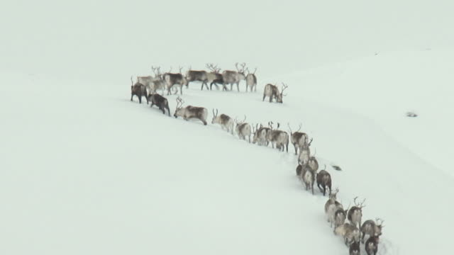 a herd of reindeer meander up a snow covered hill near tromso.  - antler stock videos & royalty-free footage