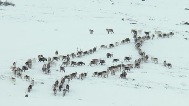 a herd of reindeer meander up a snow covered hill near tromso.  - vaja bildbanksvideor och videomaterial från bakom kulisserna