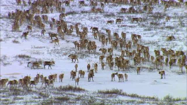 herd of reindeer migrating on snowfield - vaja bildbanksvideor och videomaterial från bakom kulisserna