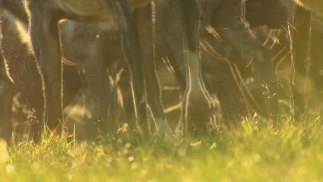 A herd of reindeer moves over grasslands in Siberia.