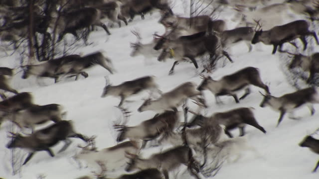 a herd of reindeer run across a snow covered landscape near tromso.  - antler stock videos & royalty-free footage