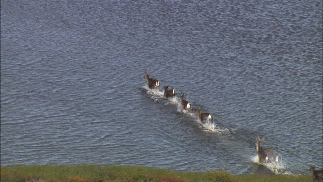 Herd of reindeer running and crossing stream