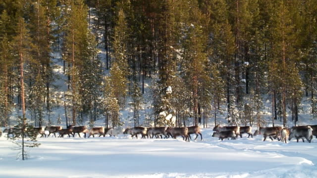 vídeos de stock e filmes b-roll de ws herd of reindeer running in snow / jokkmokk, norrbotten province, sweden - peter snow