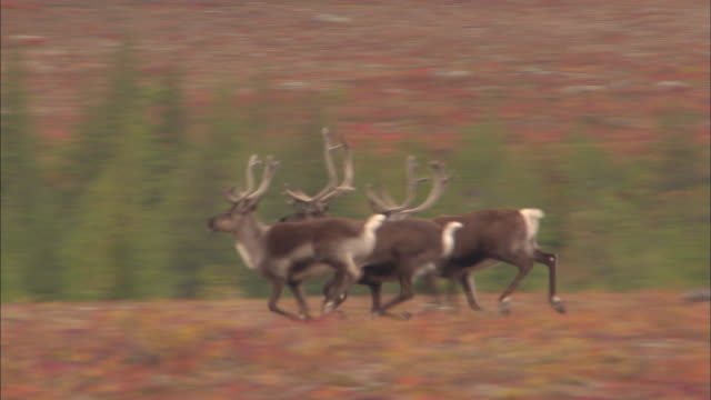 vidéos et rushes de herd of reindeer running on grassland - caribou